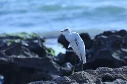 India, 24 April, 2021 : An egret on the beach, heron, Egret, beach, wading bird, waterfowl, Shorebird, Coastal bird, water bird.
