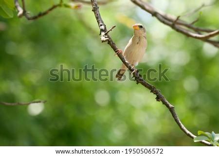India, 3 April, 2021 : Baya weaver, Ploceus philippinus, weaverbird, Sparrow, Green, Small bird, Song bird, Baya weaver female, Background. Foto stock ©