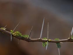 India, 7 April, 2021 : Closeup of gum arabic tree. Babul acacia. Thorny acacia. Thorn mimosa.