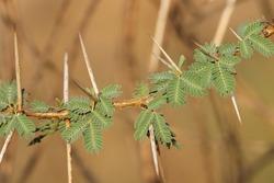 India, 16 April, 2021 : Closeup of gum arabic tree. Thorny acacia. Babul acacia. Thorn mimosa.