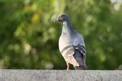 India, 24 April, 2021 : Pigeon bird standing on wall, green background. The rock dove, rock pigeon, or common pigeon is a member of the bird family Columbidae.