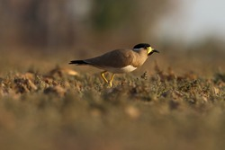 India, 4 April, 2021 : yellow wattled lapwing bird standing on grassland. The yellow-wattled lapwing is a lapwing that is endemic to the Indian Subcontinent.