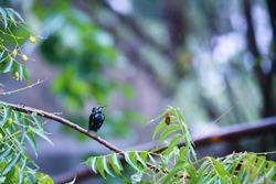 India, 25 August, 2020 : A purple sunbird sit on branch.