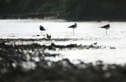 India, 2 August, 2020 : Little birds / black-winged stilts are stand together in the water.