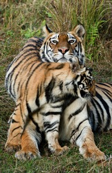 India. Bandhavgarh National Park. Tigress with a kitten on a grass./ Tigress with a kitten on a grass.