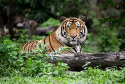 India Bengal Tiger head looking direct to camera