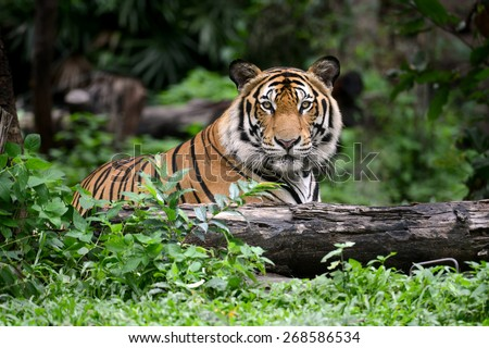 Shutterstock India Bengal Tiger head looking direct to camera