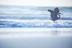 India, 4 December, 2020 : A heron on the beach, heron, Egret, beach, wading bird, waterfowl