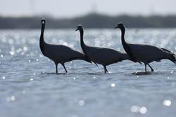 India, 27 December, 2020 : Demoiselle cranes (Grus virgo) standing in water, wintertime.