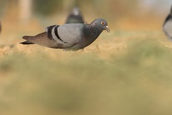 India, 13 February, 2021 : A pigeon bird on ground. The rock dove, rock pigeon, or common pigeon is a member of the bird family Columbidae.