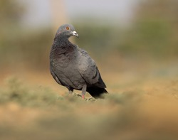 India, 12 February, 2021 : A pigeon bird on ground. The rock dove, rock pigeon, or common pigeon is a member of the bird family Columbidae.
