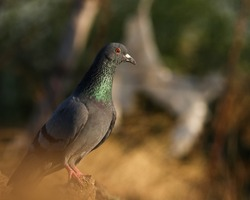 India, 9 February, 2021 : A pigeon bird on ground. The rock dove, rock pigeon, or common pigeon is a member of the bird family Columbidae.