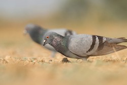 India, 14 February, 2021 : A pigeon bird on ground. The rock dove, rock pigeon, or common pigeon is a member of the bird family Columbidae.