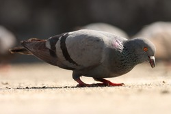 India, 3 February, 2021 : A pigeon bird on ground. The rock dove, rock pigeon, or common pigeon is a member of the bird family Columbidae.