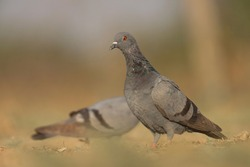 India, 17 February, 2021 : A pigeon bird standing on ground. Columba livia. The rock dove, rock pigeon, or common pigeon is a member of the bird family Columbidae.