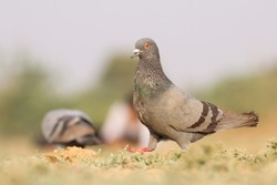 India, 18 February, 2021 : A pigeon bird standing on ground. The rock dove, rock pigeon, or common pigeon is a member of the bird family Columbidae.