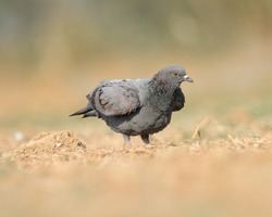 India, 14 February, 2021 : A pigeon bird standing on ground. The rock dove, rock pigeon, or common pigeon is a member of the bird family Columbidae.