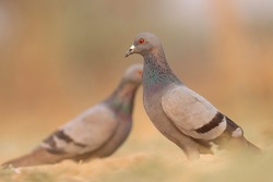 India, 22 February, 2021 : A pigeon bird standing on ground. The rock dove, rock pigeon, or common pigeon is a member of the bird family Columbidae.