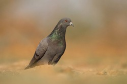 India, 11 February, 2021 : A pigeon bird standing on ground. The rock dove, rock pigeon, or common pigeon is a member of the bird family Columbidae.