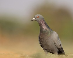 India, 12 February, 2021 : A pigeon bird standing on ground. The rock dove, rock pigeon, or common pigeon is a member of the bird family Columbidae.