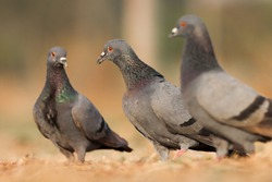 India, 9 February, 2021 : A pigeon bird standing on ground. The rock dove, rock pigeon, or common pigeon is a member of the bird family Columbidae.