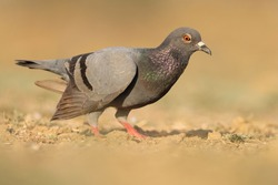 India, 27 February, 2021 : A pigeon bird standing on ground. The rock dove, rock pigeon, or common pigeon is a member of the bird family Columbidae.