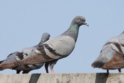 India, 6 February, 2021 : A pigeon bird standing on wall. The rock dove, rock pigeon, or common pigeon is a member of the bird family Columbidae.