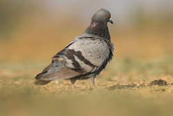 India, 27 February, 2021 : A pigeon. Pigeon bird standing on ground. The rock dove, rock pigeon, or common pigeon is a member of the bird family Columbidae.