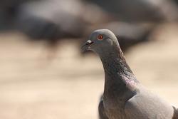 India, 3 February, 2021 : Closeup of common pigeon. The rock dove, rock pigeon, or common pigeon is a member of the bird family Columbidae.