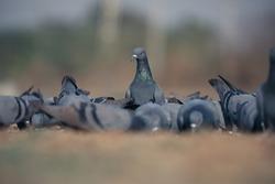 India, 10 February, 2021 : Pigeon, dove on the farm.