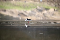 India, 30 January, 2019 : A black-winged stilt / little bird is stand in the water.