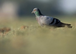 India, 21 January, 2021 : A pigeon bird on ground. The rock dove, rock pigeon, or common pigeon is a member of the bird family Columbidae.