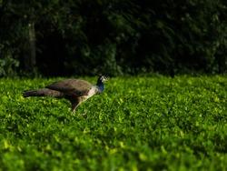 India, 1 July, 2020 : Peahen Bird Or Female Peacock Bird (Pavo Cristatus), Walking In Farm.