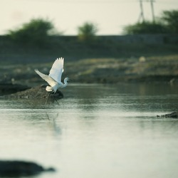India, 5 June, 2020 : A egret bird is taking flight.
