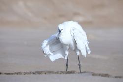 India, 24 March, 2021 : An egret on the beach, Egret, heron, beach, desert, Wading bird, Shoreline, Shorebird, Coastal bird, Aquatic bird, Waterfowl, white.