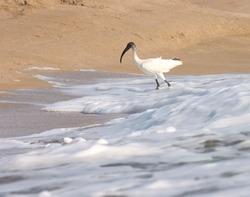 India, 21 March, 2021 : Black headed ibis bird standing on ocean water. Oriental white ibis. Water bird. Seabird.