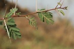 India, 20 March, 2021 : Closeup of gum arabic tree. Thorny acacia. Babul acacia. Thorn mimosa.