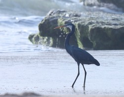 India, 25 March, 2021 : Egret. Egret on the beach. Water bird. Seabird. Costal bird. Western reef heron at sea.