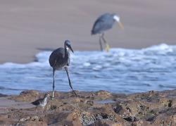 India, 24 March, 2021 : Egret. Egret on the beach. Water bird. Seabird. Costal bird. Western reef heron at sea.