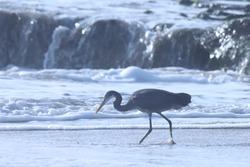 India, 23 March, 2021 : Egret. Egret on the beach. Water bird. Seabird. Costal bird. Western reef heron at sea.