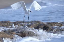 India, 24 March, 2021 : Egret on the beach, heron, Egret, beach, Sea, Ocean, wading bird, waterfowl, Shoreline, Shorebird, Coastal bird, Aquatic bird, water, white.