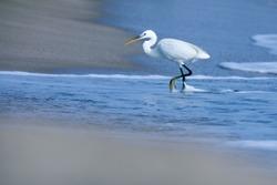 India, 22 March, 2021 : Egret on the beach, heron, Egret, beach, wading bird, waterfowl, Shorebird, Coastal bird, Aquatic bird, white.