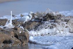 India, 24 March, 2021 : Egret on the beach, heron, Egret, beach, wetland, wading bird, waterfowl, Shoreline, Shorebird, Coastal bird, Aquatic bird, Tropical.
