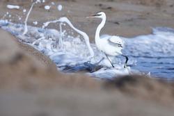 India, 22 March, 2021 : Egret on the beach, heron, Egret, beach, Wetland, waterfowl, Shoreline, Shorebird, Coastal bird, Aquatic bird, wading bird, wader, white.