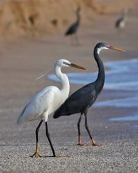 India, 22 March, 2021 : Egret on the beach, heron, Egret, wading bird, waterfowl, shorebird, Coastal bird, water bird, white, beach.