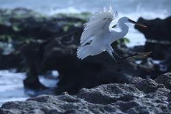 India, 24 March, 2021 : Flying egret, Egret on the beach, heron, Egret, beach, wading bird, waterfowl, Shorebird, Coastal bird, Aquatic bird, Bird in flight.