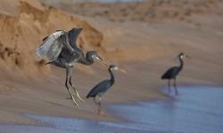 India, 22 March, 2021 : Flying heron, Egret, heron, waterfowl, Shorebird, Coastal bird, water bird, beach, wading bird.