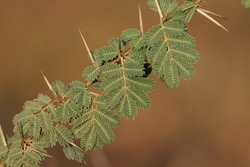 India, 30 March, 2021 : Gum arabic tree. Thorny acacia. Babul acacia. Babul. Medicinal tree.