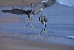 India, 23 March, 2021 : Heron fight, Heron on the beach, heron, Egret, wading bird, waterfowl, beach, Shorebird, Coastal bird, water bird, Aquatic.