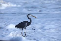 India, 24 March, 2021 : Heron on the beach, heron, Egret, beach, Sea, Ocean, wading bird, waterfowl, Shoreline, Shorebird, Coastal bird, Aquatic bird, wetland, water.